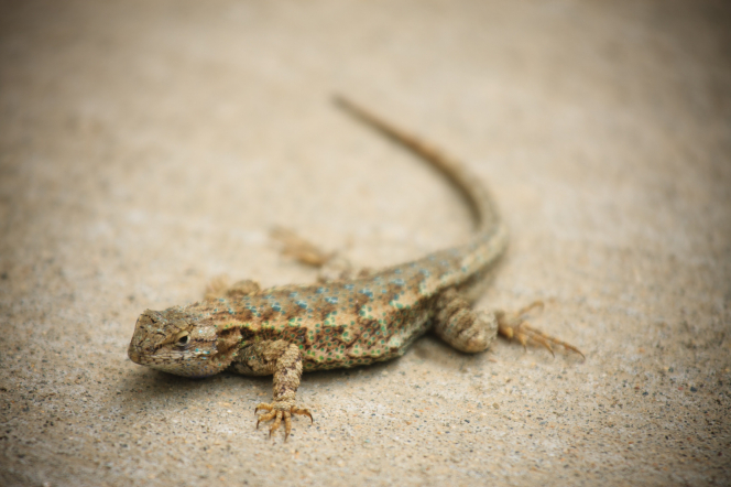A photo of a tan-colored lizard with blue and green spots, sunbathing on a flat cement surface.
