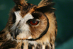 A close-up portrait of a striped owl, which is found mainly in Central and South America.