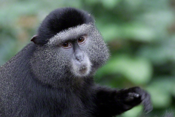 A portrait of a monkey with black and gray fur and brown eyes, looking over its shoulder.