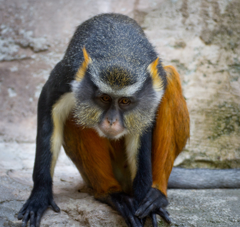 A portrait of a black monkey with orange ears and legs, sitting in a rocky area.
