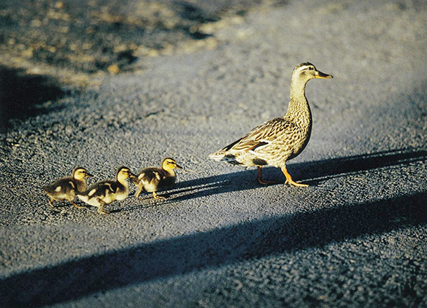 A photo of a mother duck and her three babies walking behind her as they cross a street.