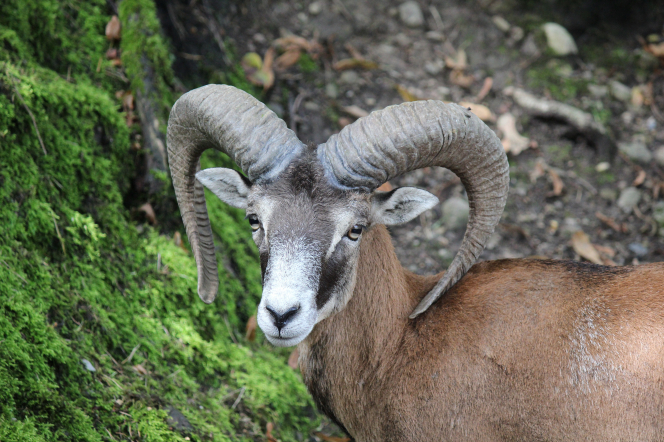 A portrait of a mouflon, which is a subspecies group of wild sheep, with large antlers that curl back and down behind the ears, reaching the bottom of the neck.