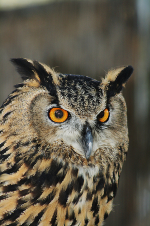 A close-up photo of a horned owl's head, with black and tan colored feathers and orange eyes.