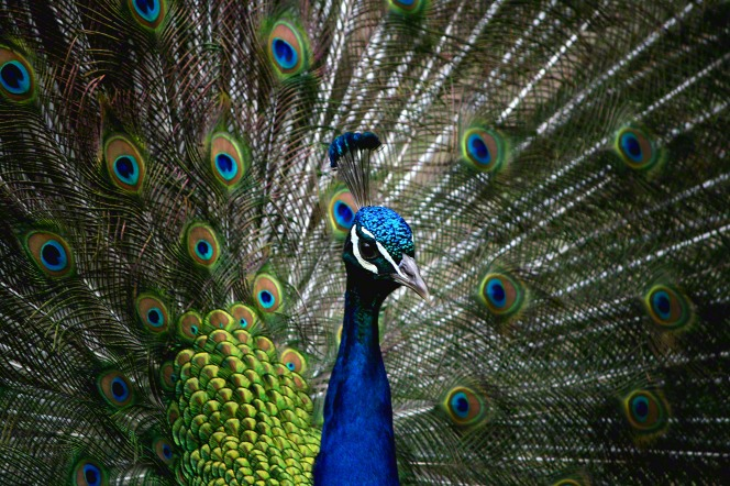 A close-up view of the neck and head of a peacock with feathers fanned out behind in bright blues and greens.
