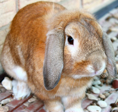 A photo of a brown rabbit with long, droopy ears.