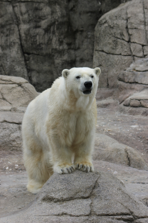 A white polar bear standing in a rocky area.