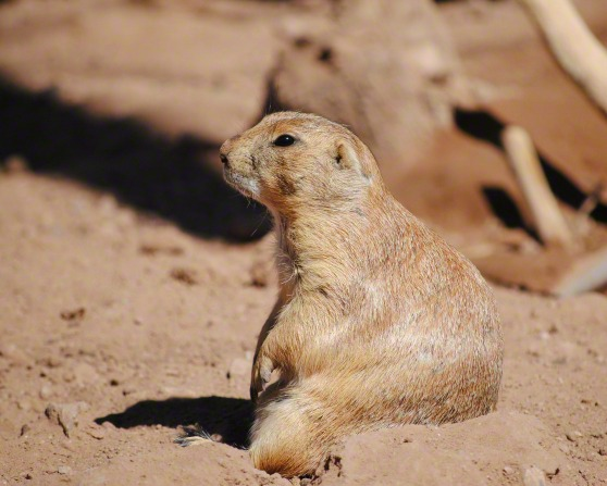 An image of a prairie dog sitting in the desert.