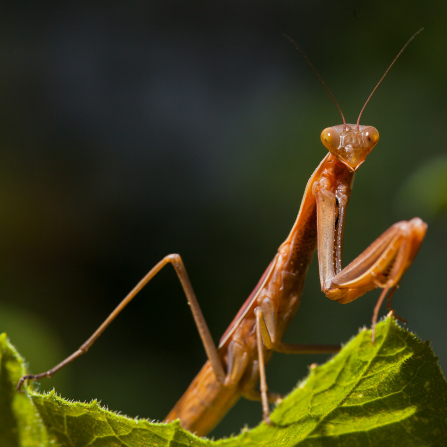 A close-up view of a dark-tan-colored praying mantis insect sitting on a leaf.