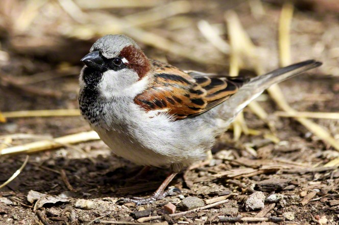 A portrait of a sparrow perched on the ground.