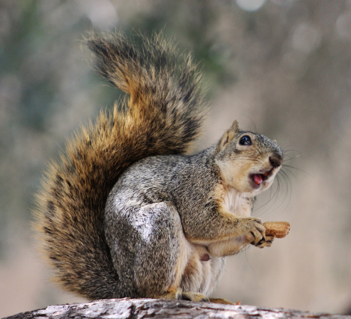 A portrait of a bushy-tailed squirrel holding a nut with its tongue sticking out as it eats.