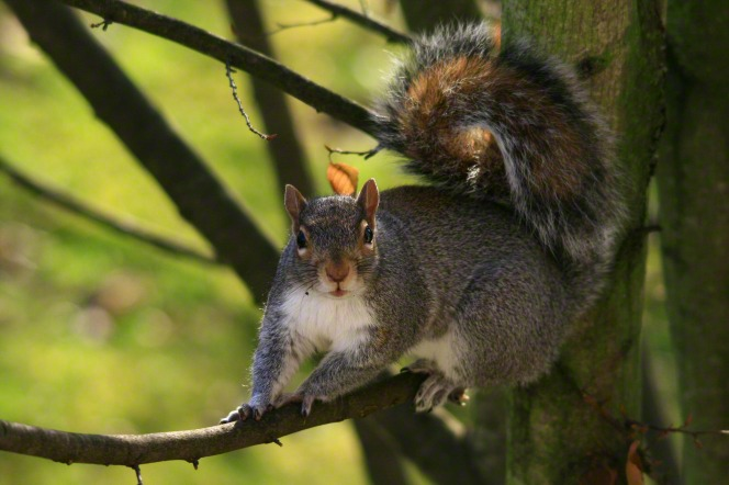 An image of a bushy-tailed squirrel climbing on a branch, looking straight at the camera.