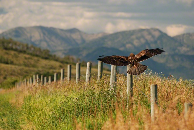 A brown hawk flying low, attempting to land on a fence post in a grassy field, with rolling hills and mountains beyond.