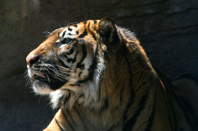 A profile view of a tiger's head with sunlight shining on top and its shoulders in shadow.