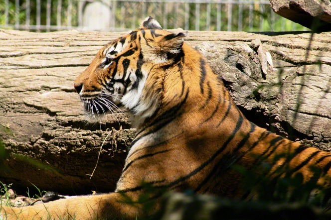 A large tiger lying down by a tree log in its caged-off area at the zoo.