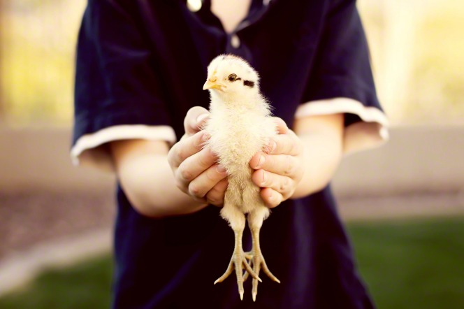 A photo of a young boy holding out a fluffy baby chicken in his hands.