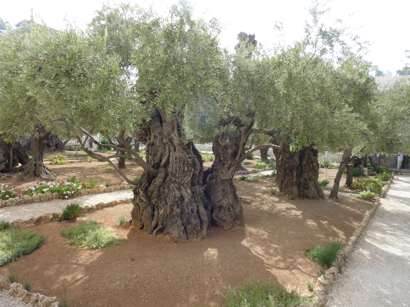 A photograph of olive trees at the Garden of Gethsemane.