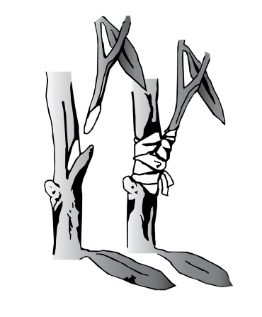 Illustration of a plant graft.