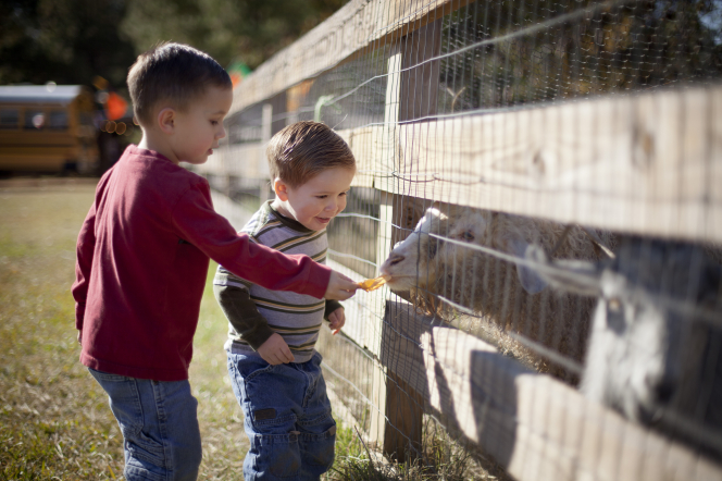 Two brothers stand next to each other while feeding sheep through a fence.