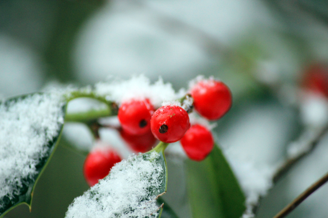Several bright red berries clustered near green leaves that are covered in fresh white snow.