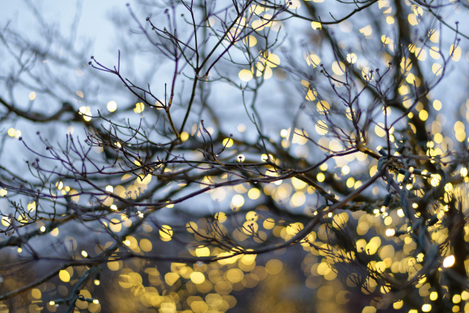 A close-up view of yellow Christmas lights on tree branches on the Washington D.C. Temple grounds.