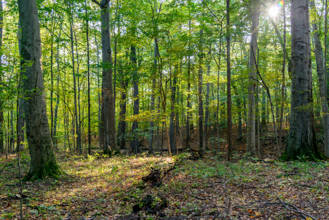 A beam of sunlight in the Sacred Grove.