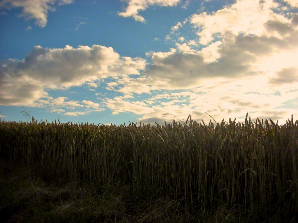 A barley field, a blue sky with clouds, and the sun setting in the distance.