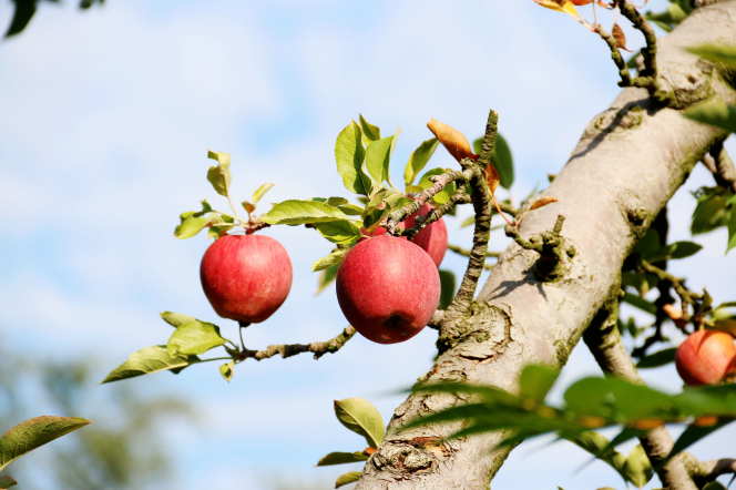 A photograph of red apples on an apple tree.