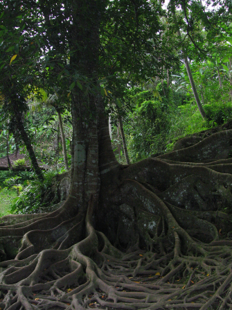 A picture of a tree with large, winding roots in Bali, Indonesia.