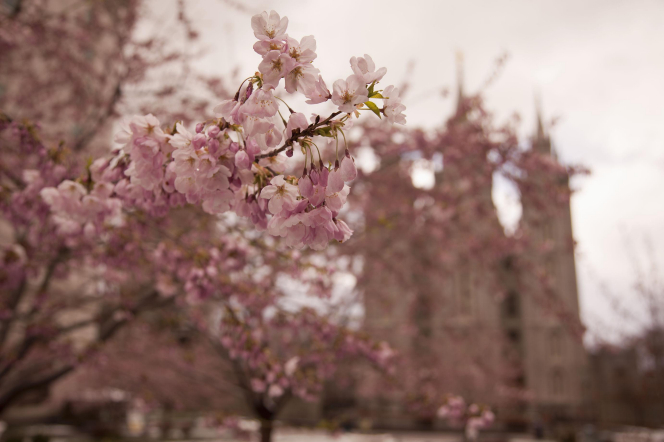 The Salt Lake Temple slightly blurred behind pink blossoms during spring.