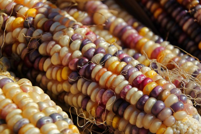 Indian corn on the cob.