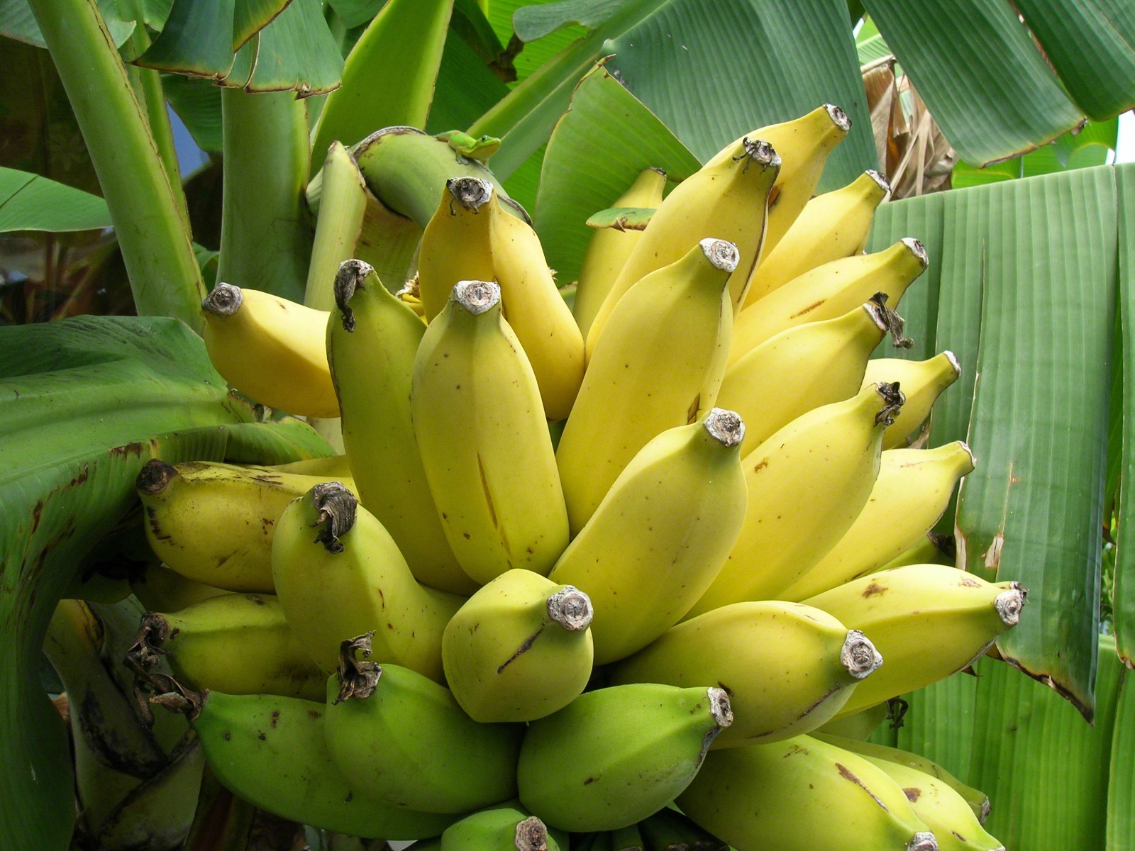 Displaying 18 gt  Images For - Yellow Banana Tree Pictures   Yellow Banana Tree