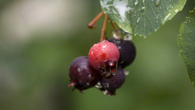 Four cranberries hanging on a branch with raindrops on them.