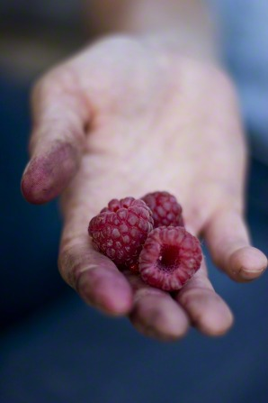 A dirty hand holding three freshly picked raspberries.