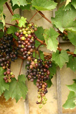 Red and green grapes on a vine by a stone wall.