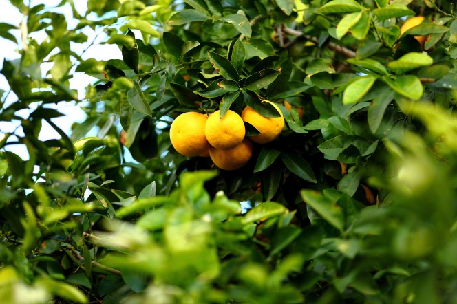 Three lemons on a branch of a tree with bright green leaves.