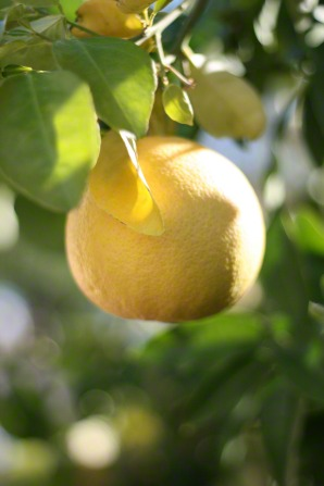 A grapefruit growing on a branch of a citrus tree.