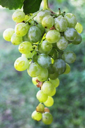 A cluster of green grapes hanging on a vine.