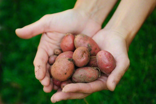 Hands holding small red potatoes recently dug from the ground.