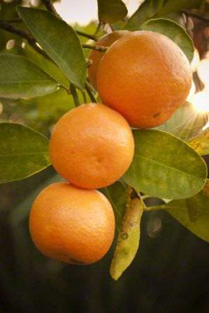A cluster of four oranges growing on a tree.