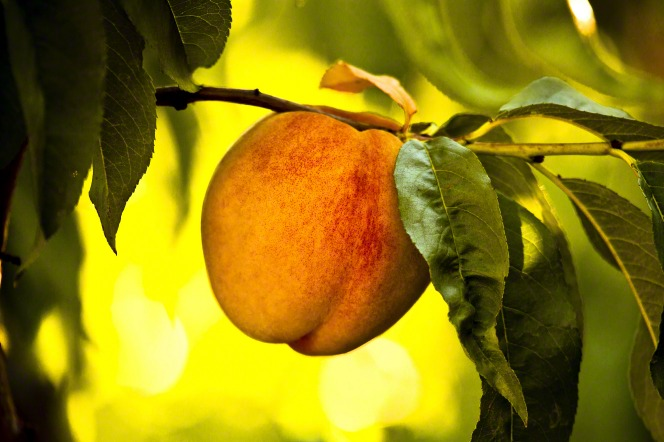 A peach growing on a branch of a tree with green leaves.