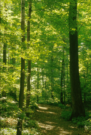 A photograph of the Sacred Grove in New York, showing a path with tall green trees on each side and the sunlight streaming down.