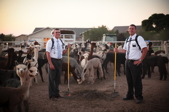 Two elder missionaries in white shirts, ties, and pants hold rakes while standing in a pen with llamas and alpacas on a farm.