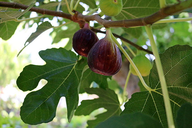 Two reddish-brown figs growing on a small branch, surrounded by large green leaves.