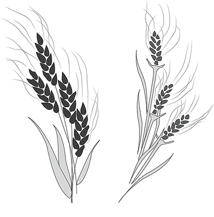 A simple black-and-white illustration showing the differences between wheat and a tare.