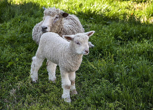A small lamb standing on grass next to its mother, who is lying down.
