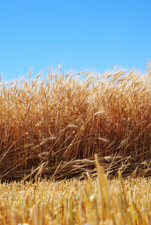 A field of ripened wheat with a clear blue sky overhead.