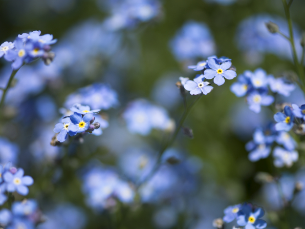 Forget-me-nots with blue petals and yellow centers growing on stems.