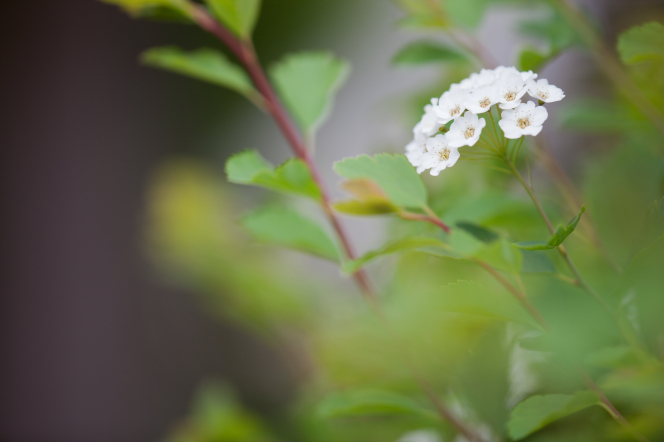 Little white flowers with yellow centers growing on tall, brown, leafy stems.
