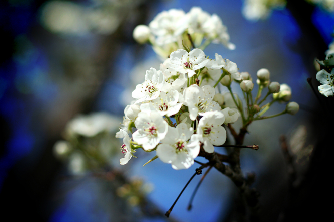 White blossoms growing on a tree, with a blurred background.
