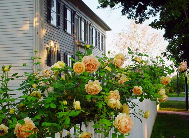 Yellow roses grow along a white picket fence in the yard of the Mansion House in Nauvoo.